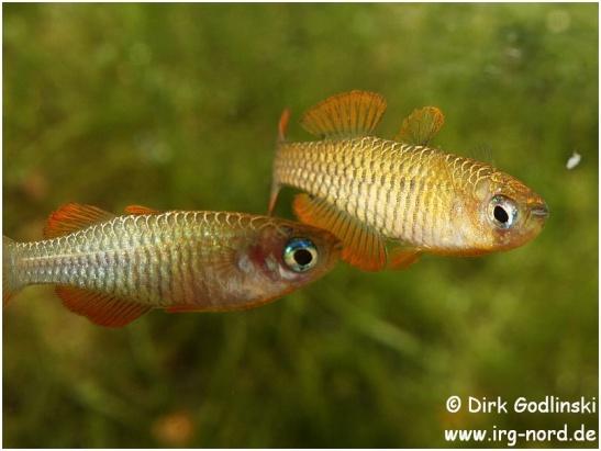 Pseudomugil_reticulatus_2