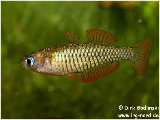 Pseudomugil_reticulatus